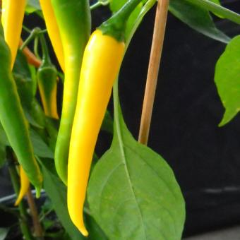 Yellow Cayenne Chilisamen