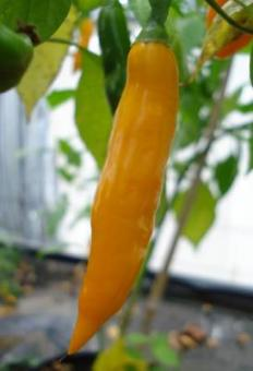 Aji Pineapple Chilisamen