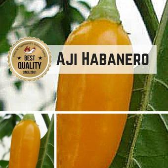 Aji Habanero Chilipflanze