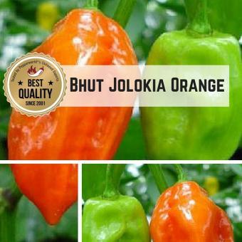 Naga/Bhut Jolokia Orange Chilipflanze