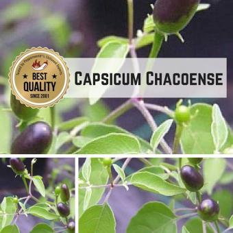 Capsicum Chacoense Chilipflanze