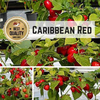 Caribbean Red Chilipflanze