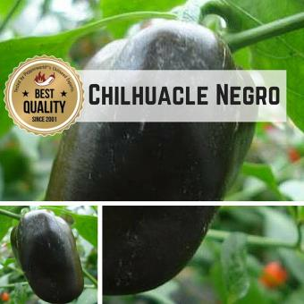 Chilhuacle Negro Chilipflanze
