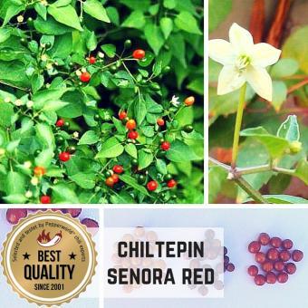 Chiltepin Sonora Red Chilipflanze