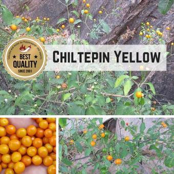 Chiltepin Sonora Yellow Chilisamen
