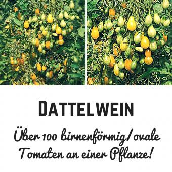 Dattelwein Tomatensamen (Buschtomate)