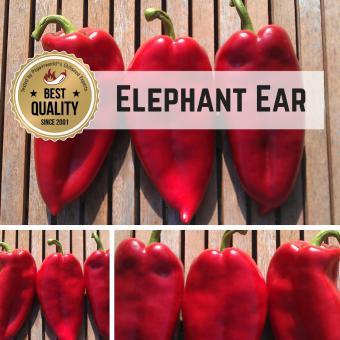 Elephant Ear Chilipflanze