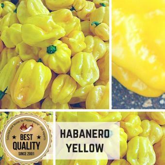 Habanero Gelb Chilipflanze