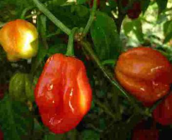 Habanero Uganda Chilisamen