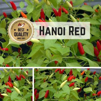 Hanoi Red Chilipflanze