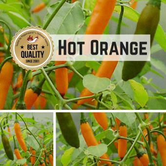 Hot Orange Chilipflanze