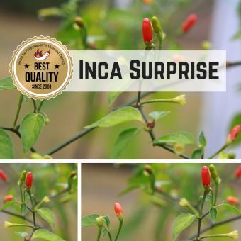 Inca Surprise Chilipflanze