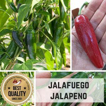Jalafuego (F1) Chilipflanze