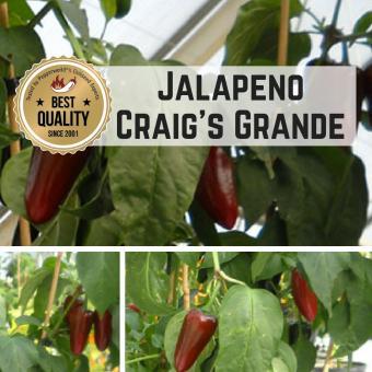 Jalapeño Craig's Grande Chilipflanze