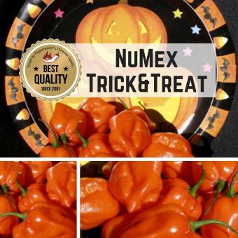 NuMex Trick & Treat Chilipflanze
