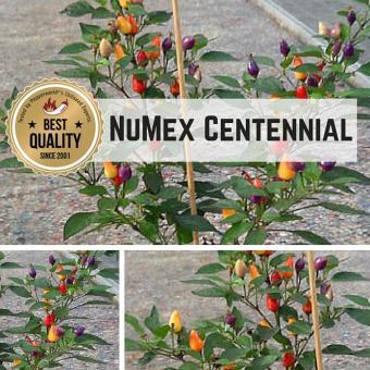 NuMex Centennial Chilipflanze