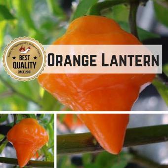 Orange Lantern Chilipflanze