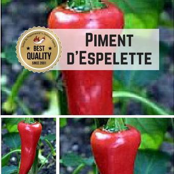 Piment d'Espelette Chilipflanze