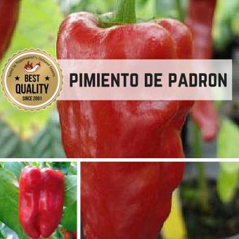 Pimientos de Padron Chilipflanze