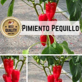 Pimiento Pequillo Chilipflanze