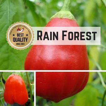 Rain Forest Chilipflanze