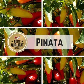 NuMex Pinata Chilisamen