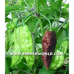 Chocolate Naga/Bhut Jolokia Chilisamen