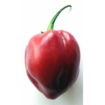 Caribbean Red Chilisamen