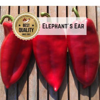 Elephant´s Ear Chilisamen