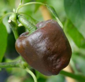 Chilhuacle Negro Chilisamen