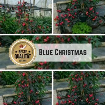 Blue Christmas Chilisamen