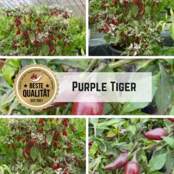 Purple Tiger Chilisamen