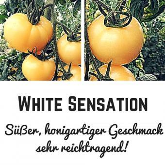 White Sensation Tomatensamen (Salattomate)