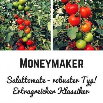 Moneymaker Tomatensamen (Salattomate)