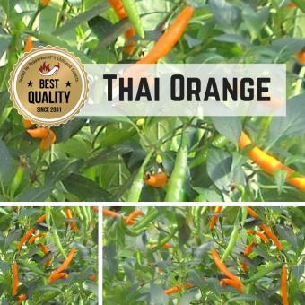 Thai Orange Chilipflanze