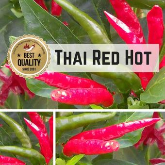 Thai Red Hot Chilipflanze