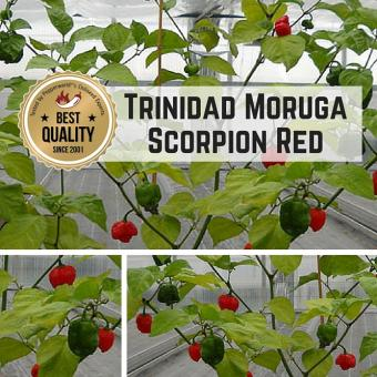 Trinidad Moruga Scorpion Red Chilipflanze