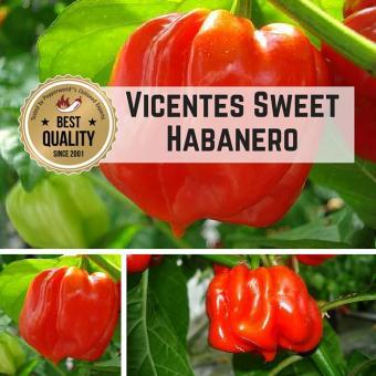 Vicentes Sweet Habanero Chilipflanze