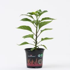 Grenada Seasoning BIO Chilipflanze
