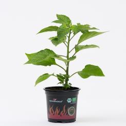 Naga/Bhut Jolokia Red Organic Chilli Plant