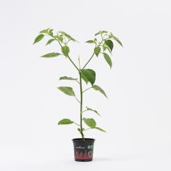 Aji Omnicolor Organic Chilli Plant
