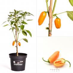 Lunchbox Pepper Yellow BIO Chilipflanze