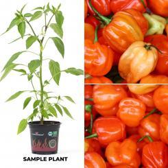 Bolivar Minas Gerais BIO Chilipflanze