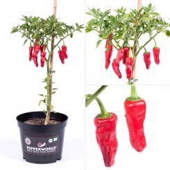 Aji Monagre BIO Chilipflanze