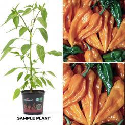 Fatalii    BIO Chilipflanze