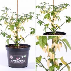 Coyote Zan white BIO Chilipflanze