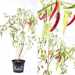 Aji Chicotillo Rojo BIO Chilipflanze