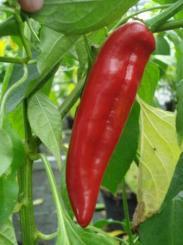 Anaheim Hot Chilli Seeds