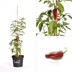 Tapas BIO Chilipflanze