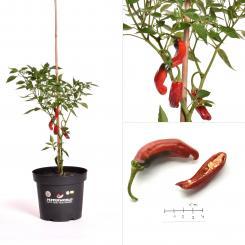 Shishito Pepper BIO Chilipflanze
